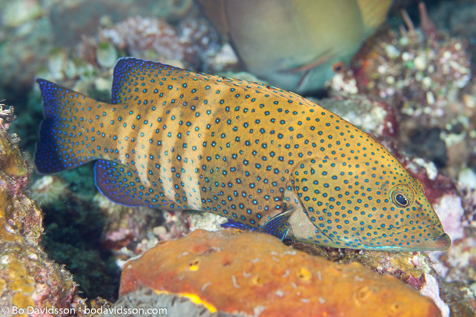 BD-130329-Tulamben-7967-Plectropomus-maculatus-(Bloch.-1790)-[Spotted-coralgrouper].jpg